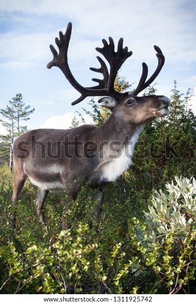 Gorgeous reindeer eating dwarf birch in the Pallas-Yllästunturi wilderness