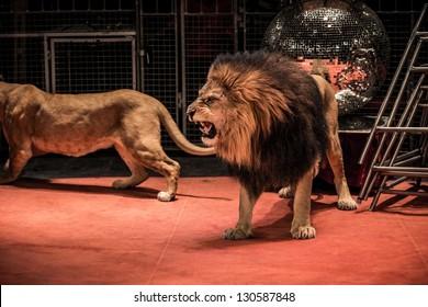 Gorgeous roaring lion walking on circus arena