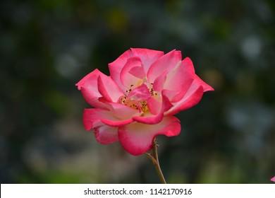 Gorgeous Rose in full bloom
