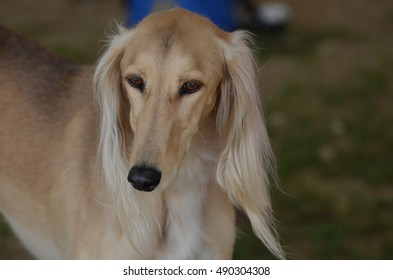 Gorgeous saluki sighthound with a black nose.