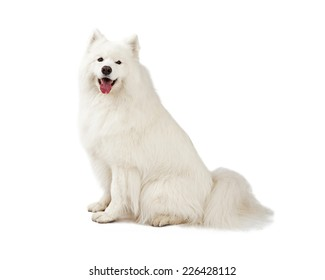 A gorgeous Samoyed Dog sitting sideways to the camera.  Mouth is open.