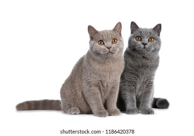 Gorgeous set of young adult cinnamon and blue British Shorthair cats sitting together, looking at lense with orange eyes isolated on white background