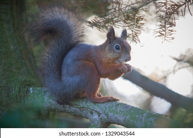 Gorgeous squirrel eats nuts on the spruce tree branch and constantly monitor its environment