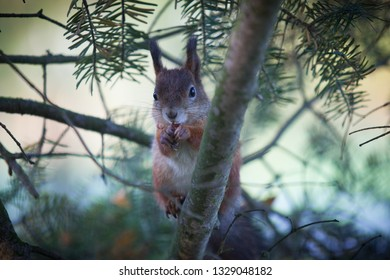 Gorgeous squirrel eats nuts on the spruce tree branch and posing for photographer