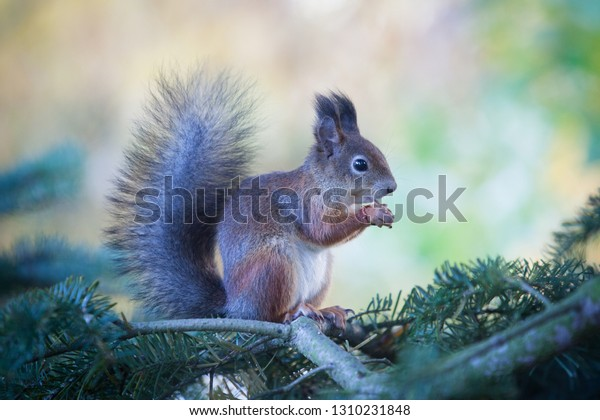 Gorgeous squirrel eats nuts on the tree branch