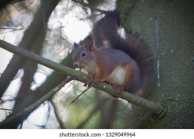 Gorgeous squirrel is posing on a spruce tree branch and watch out for potential dangers in the environment