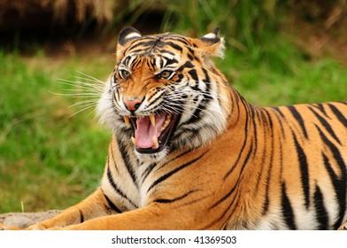 Gorgeous Sumatran tiger threatening its opponent by roaring