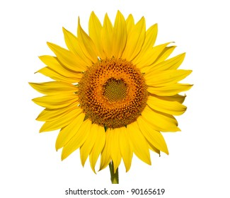Gorgeous sunflower isolated on white background