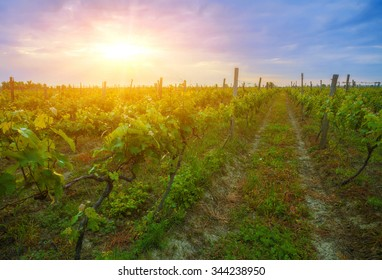 Gorgeous sunset over beautiful green vines in Kakheti region, Georgia