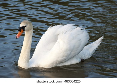 Gorgeous swan swimming in the lake
