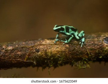 A gorgeous and toxic little Green and Black Poison Dart Frog hopping along a low branch in the jungle of Costa Rica.