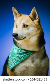 Gorgeous, tri color shiba inu with a green bandana around its neck and a bright blue, studio background behind it. It's ears are pointed upright and it is looking away from the camera at an angle.