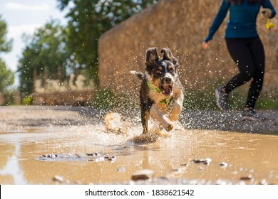 Gorgeous tricolor border collie puppy sprinting in a mud puddle next to his owner while running down the mountain, dog splashing water, excited dog