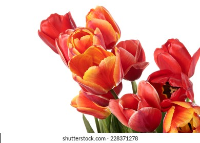 Gorgeous tulip flowers isolated on a white background