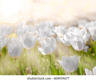 Gorgeous  Tulips Flower background under the beautiful morning light in Spring season.