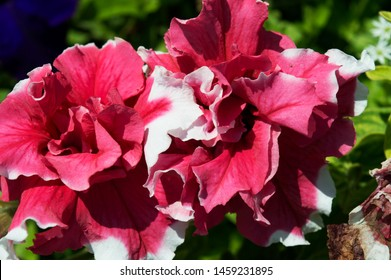 Gorgeous two colored flowers of Petunia. Two toned Petunia. Crimson and white Petunia. Summer Blossom flowers close up. Aromatic flowers.