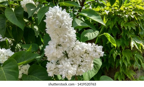 Gorgeous, upright, white syringa panicle contrasting with heart-shaped, green leaves in May. Mass of tiny, white lilac flowers in a large cluster against green leaves in spring.
