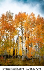 Gorgeous vertical shot of a forest of birch and aspen trees with bright vivid autumn leaves during the day.