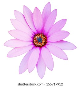 gorgeous violet daisy flower isolated on white background