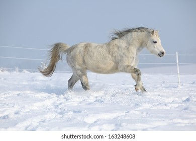 Gorgeous welsh mountain pony running on snow in winter