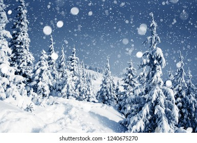 Gorgeous white spruces on a frosty day. Location Carpathian national park, Ukraine, Europe. Winter alpine ski resort. Exotic wintry scene. Blue toning. Happy New Year! Discover the beauty of earth.