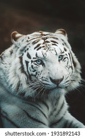 Gorgeous white tiger with blue eyes close up on dark blurry background