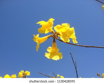 Gorgeous yellow ipe, brazilian typical tree. Beautiful flowers, amazing sunny day. Colorful landscape, sunny background. Romantic atmosphere. São Paulo, Brazil. South America