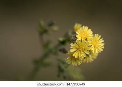 Gorgeous yellow meadow flower, isolated on light brown background. Fragile yellow blossoms.