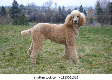 Gorgeous young red (apricot) standard poodle, outdoors
