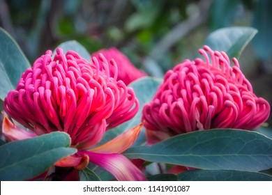 Gorgeus large pink waratahs found in the wild at at Mount Tomah Botanic Garden in the Blue Mountains, New South Wales, Australia. The Waratah is the Floral Emblem of the state of New South Wales.