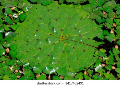 gorgon leaves are in the pond