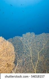 Gorgonian fan coral (Annella mollis) with blue background. Near Garden, Sharm el Sheikh, Red Sea, Egypt.