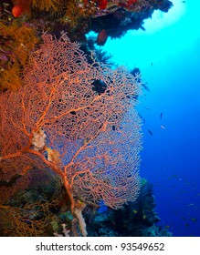 Gorgonian fan coral on a coral reef wall on blue water background.