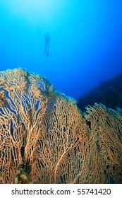 Gorgonian Fan Coral with scuba diver silhouetted in background