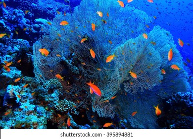 gorgonian on a coral reef