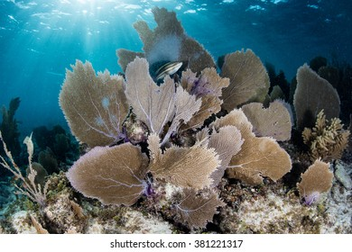 Gorgonians, reef-building corals, sponges, and other invertebrates grow on a shallow, healthy reef off the coast of Belize in the Caribbean Sea.