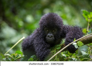A gorila inside the Virunga National Park, the oldest national park in Africa. DRC, Central Africa.