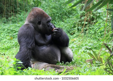 gorilla animal wildlife