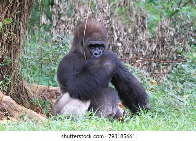 gorilla animal wildlife