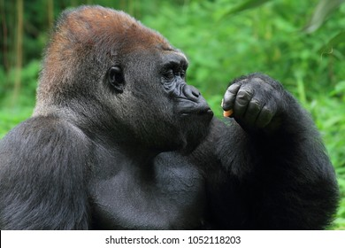 Gorilla animals wildlife