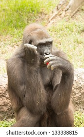 Gorilla at Audubon Zoo - Praline Eating a Pepper