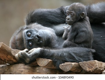 Gorilla with baby, mother and child, inseparable