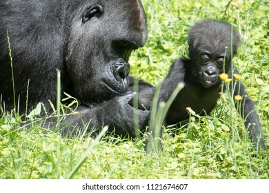 Gorilla baby  for you