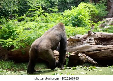 Gorilla back. Gorilla, rear view