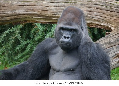 A gorilla at Berlin zoo.