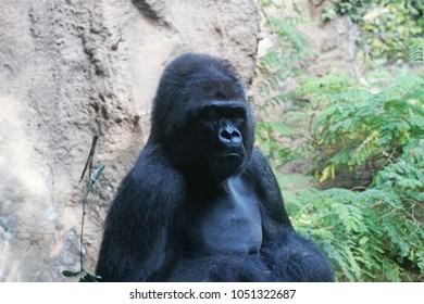 gorilla. Big monkey lives in tropical park