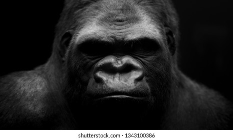 Gorilla with black background