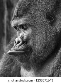 Gorilla, Black and White Portrait