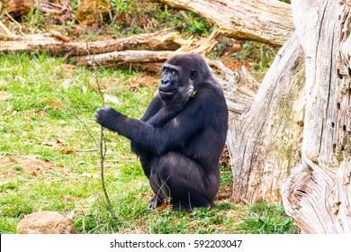Gorilla in Cabarceno National Park