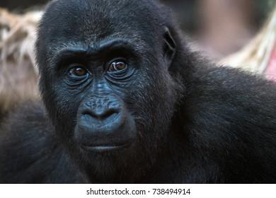 Gorilla in Cabarceno Natural Park